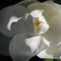 Southern glimpses:  Magnolia grandiflora