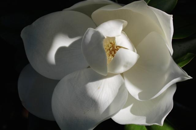 Magnolia grandiflora -- barely open