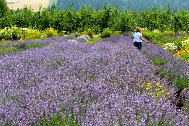 Pick your own lavender in the fields at Hood River Lavender and bring home a luscious bouquet.