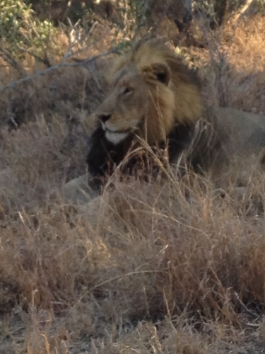 Lion at Thornybush Game Preserve