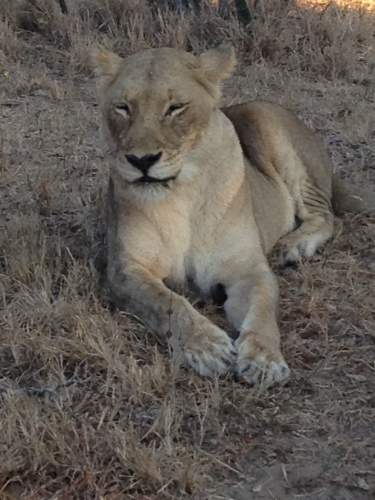 Lioness at rest, Thornybush Game Preserve, South Africa