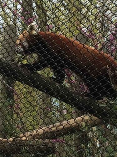 Pretty hard to see this red panda protected by a grid of fences at the Knoxville Zoo.