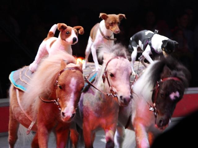 Three dogs riding horseback!