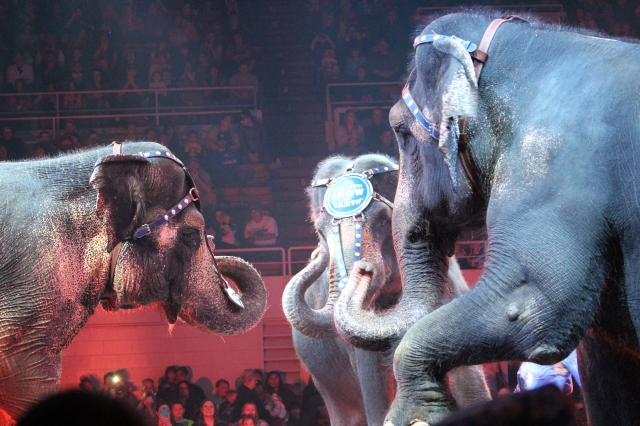 Trio of elephants at the Greatest Show on Earth