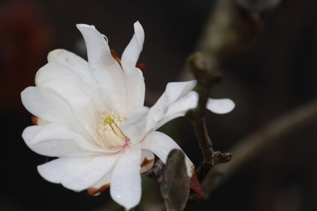 Damaged by frost, our White Star White Magnolia that bloomed too early.