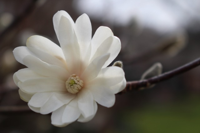 A rare bit of morning sunlight on our unseasonable but beautiful White Star White Magnolia blossom.