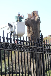 Trimming branches in Jackson Square.