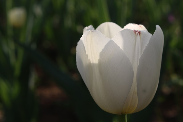 White tulip in half light.