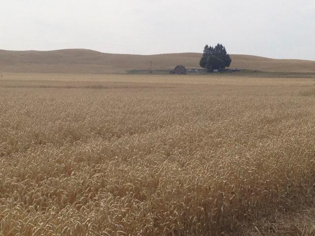 Vast wheat fields in the Palouse.