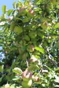 Tightly clustered, apples ripening in the orchards at Lyda Farms