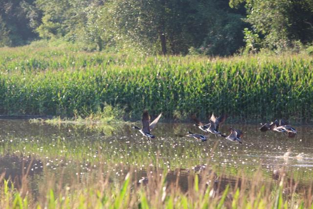 Flight of geese, Flat Rock, North Carolina