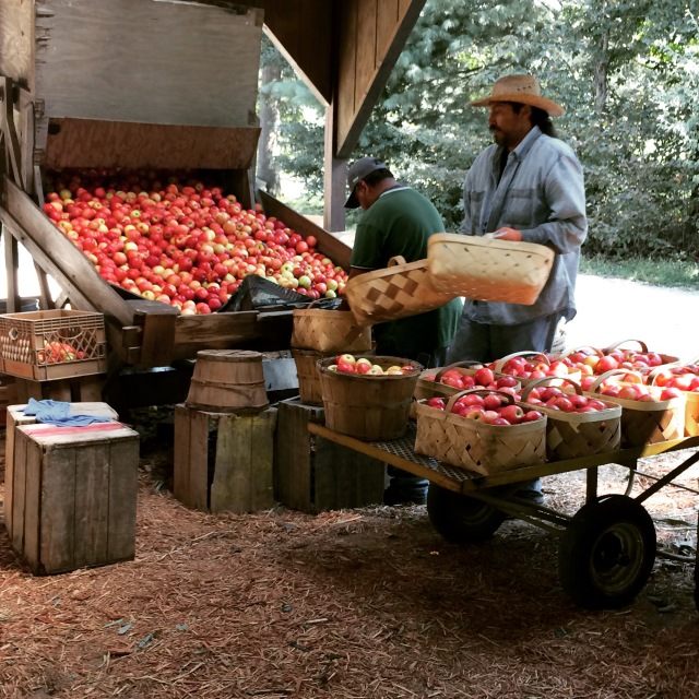 Sorting apples at Lyda Farms