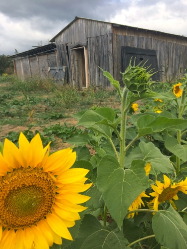 Old barn and a sunflower patch -- it's fall at Oakes Farm!