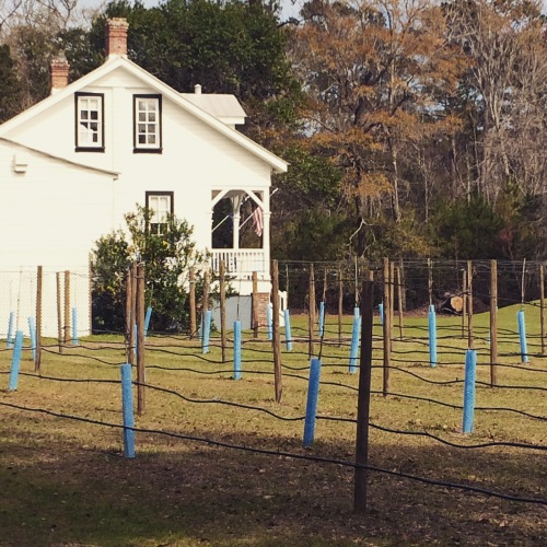 Lighthouse at Daufuskie Island with stakes set out for scuppernong vines.