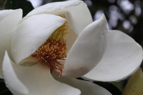 Raindrops on petals of Magnolia Grandiflora