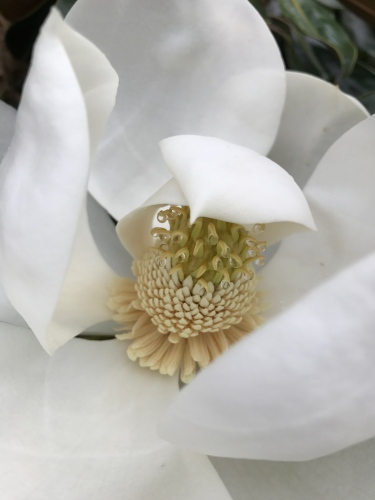 Magnolia with raindrops on stamen and carpel