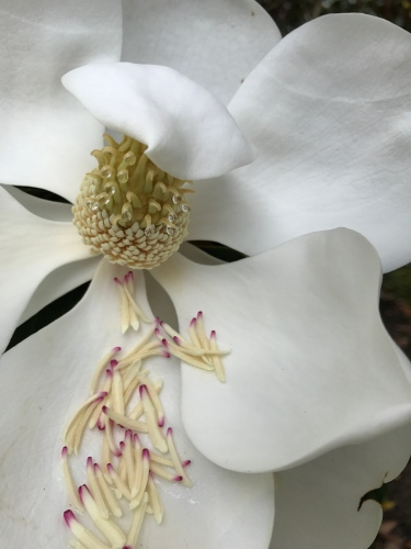 Almost spent, this magnolia holds onto its beauty for one more day.