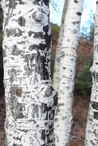 Look closely, and you'll see patterns in the bark of nearby aspens.