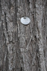 A numbered tag identifies each elm in Castine.