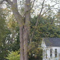 Towering over a home in Castine: a truly revered elm.
