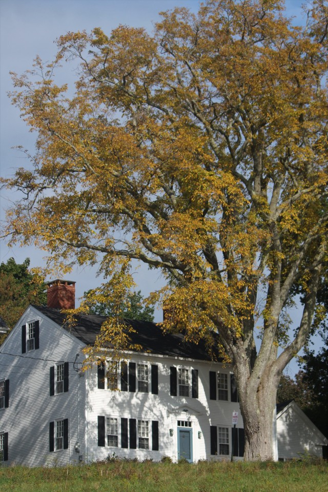 Leaves turn golden on one of the largest elm trees in Castine.