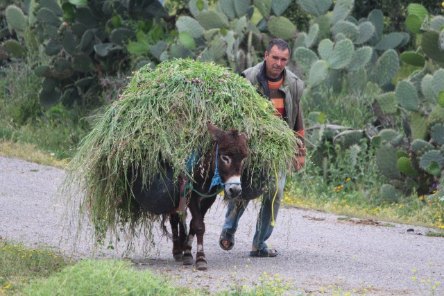 A farmer with his donkey moves cuttings along a country road.